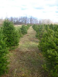 The rows of trees at Pochuck Valley Farms